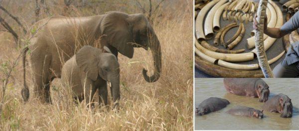 illustration éléphants hippopotames 600x264 - Les hippopotames et éléphants en voie d'extinction au Togo, le tourisme en pâtit