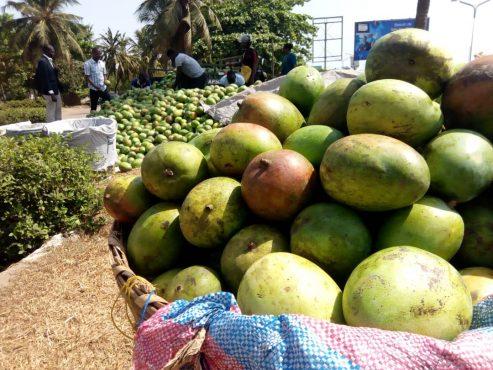 IMG 20191211 WA0053 493x370 - Grâce au MIFA.S.A, les producteurs de mangues de la région maritime vont livrer 300 tonnes à la société HPW