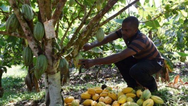 CACAO 600x338 - Ressources humaines pour les chaînes de valeurs agricoles: voici le cahier des charges pour la société de placement