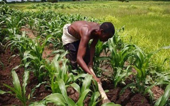 agriculture togo 592x370 - Corona virus/Adresse à la nation : Faure Gnassingbé n'a pas oublié le secteur agricole
