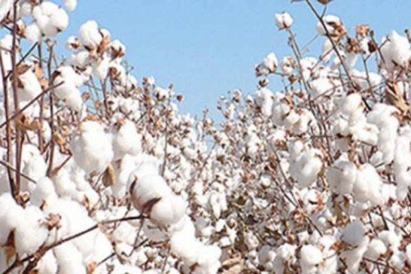 Facteurs explicatifs baisse 600x400 - Togo/ Baisse de la production cotonnière: les raisons