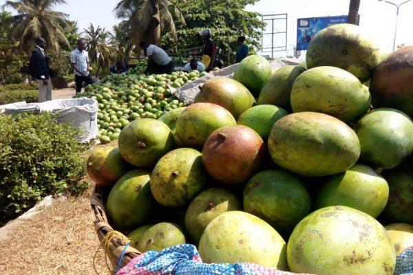 Pro Mangues - Agriculture: une opportunité pour les producteurs de mangues