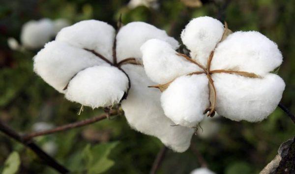 coton 600x353 - Togo/ chute de la production cotonnière en 2020, nouveau cap pour 2021