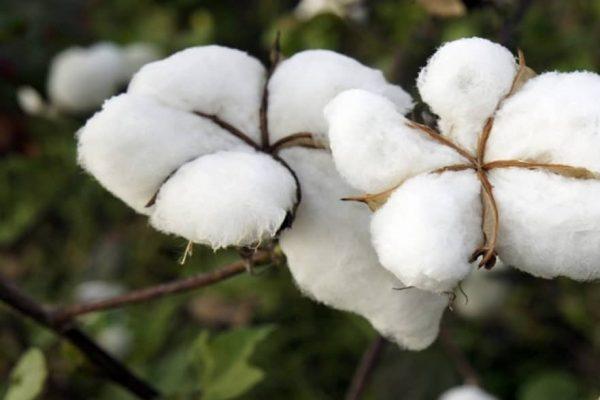coton 600x400 - Togo/ chute de la production cotonnière en 2020, nouveau cap pour 2021