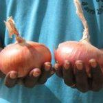 oignon Galmi 150x150 - De l'oignon Galmi bio disponible à la ferme ASG-AGIR