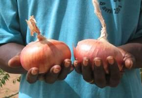oignon Galmi - De l'oignon Galmi bio disponible à la ferme ASG-AGIR