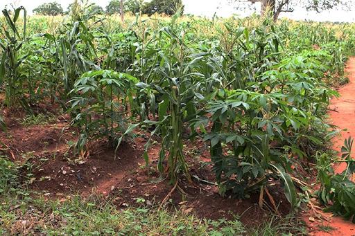 association culture - Agriculture / Association de cultures, une pratique répandue au sud-Togo