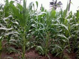 champ maïs - Agriculture: 886.360 tonnes de maïs produits entre 2018 et 2019